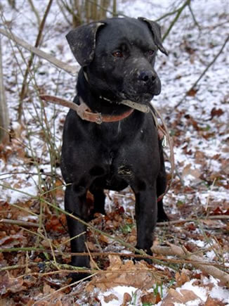 Hunting Dogs For Sale Uk